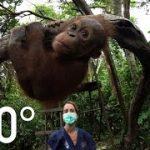 オラウータンを野生に返すための学校 動物VR動画