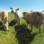 牛に舐められてVRカメラが倒れちゃうVR動画 動物VR動画