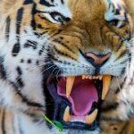 トラがぶらさがった餌にかぶりつくVR動画 動物VR動画