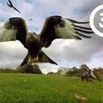 絶滅危惧種の鳥 アカトビが大量に!旋回しながら餌を探し回るVR動画