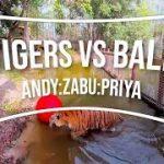 トラVSボール トラがボールで遊んでいるVR動画