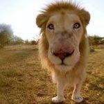 鹿を食べているライオンを観察できちゃうVR動画