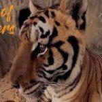 トラを間近で観察できちゃうVR動画