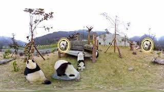 かわいいパンダのVR動画